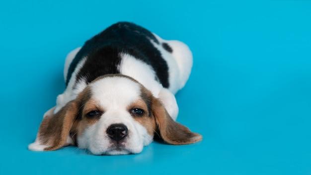 Sypialny beagle psa szczeniak na błękitnym tle Darmowe Zdjęcia