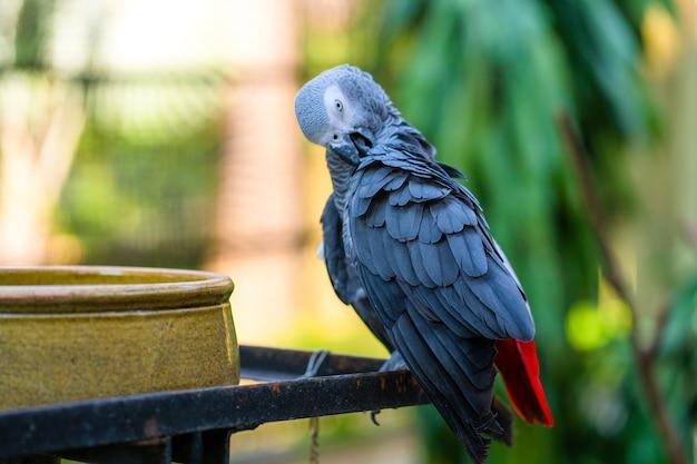 Szara Papuga Ogoniasta Jako Czyści Pióra W Pobliżu Koryta Karmienia. Psittacus Erithacus. Premium Zdjęcia