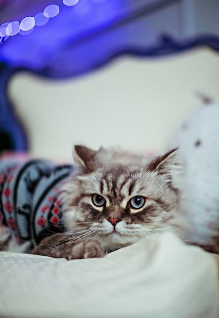 Szary Kot W Niebieskim Swetrze Leży Na Białym Kocu Zdjęcie Darmowe