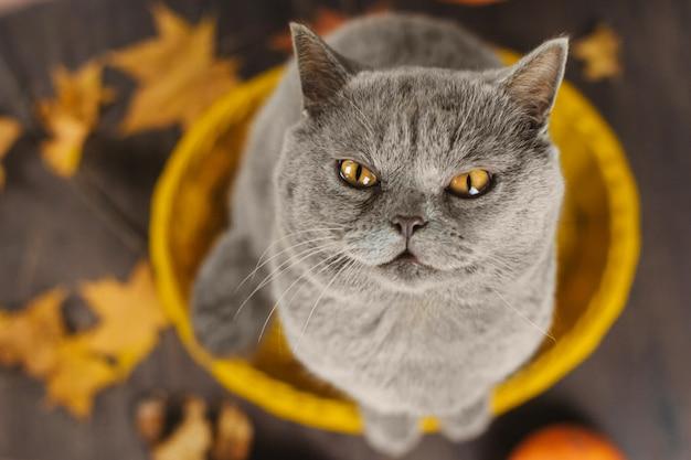 Szary kot z żółtymi oczami siedzi w żółtym koszu na tle jesiennych liści Premium Zdjęcia