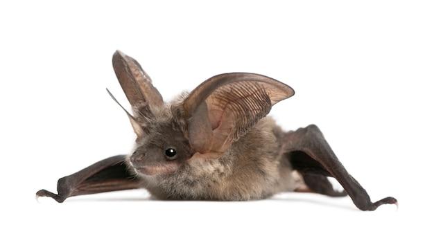 Szary Nietoperz Uszny, Plecotus Astriacus, Na Białym Odosobnionym, Premium Zdjęcia