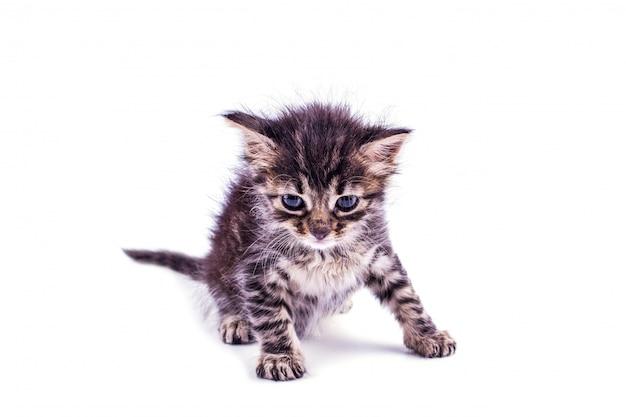 Szary pasiasty kotek z niebieskimi oczami. pojedyncze białe Premium Zdjęcia