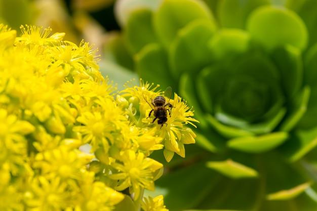 Szczegół Europejska Lub Zachodnia Miodowa Pszczoła Zapyla Na żółtych Kwiatach Z Ciepłym światłem Słonecznym Na Wiosny Popołudniu. Pszczoły Pracujące Na żółtych I Zielonych Kwiatach. Koncepcja Zmiany Klimatu. Alergia Na Pyłki. Premium Zdjęcia