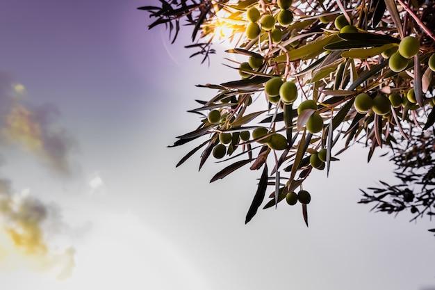 Szczegół Zielone Oliwki Na Drzewie Dojrzewa Produkować Olej. Premium Zdjęcia