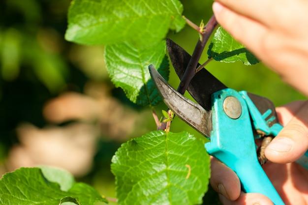 Szczelnie-do góry ręce trymerem cięcia owoców gałęzi drzewa Premium Zdjęcia