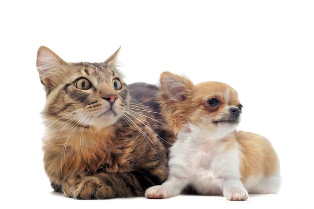 Szczeniak Chihuahua I Kot Premium Zdjęcia