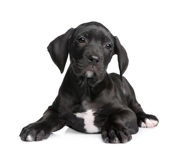 Szczeniak Dog Niemiecki Z 2 Miesiącami. Premium Zdjęcia