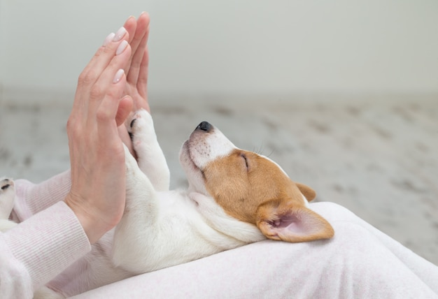 Szczeniak Jack Russell Pies śpi Terier Ręce Premium Zdjęcia