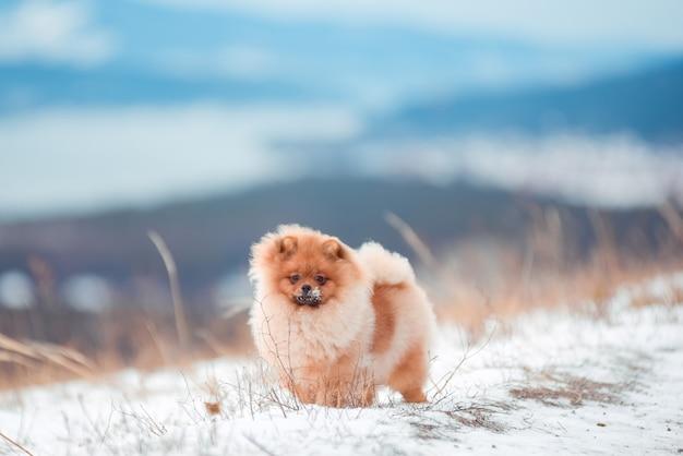 Szczeniak spitz w górach w zimie Premium Zdjęcia