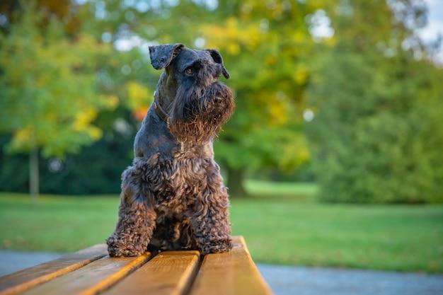Szczęśliwe Dziecko Z Psim Czarnym Sznaucerem Cieszy Się Zabawą W Parku Jesień Premium Zdjęcia