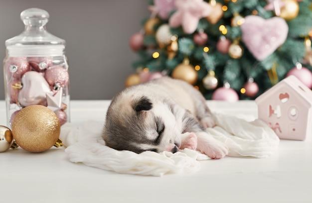 Szczęśliwych Bożych Narodzeń Pies, Husky Nowonarodzony Szczeniak. Boże Narodzenie I Nowy Rok Szczeniak Husky Syberyjski. Szablon Dla Chińskiego Horoskopu I Kalendarza. Premium Zdjęcia