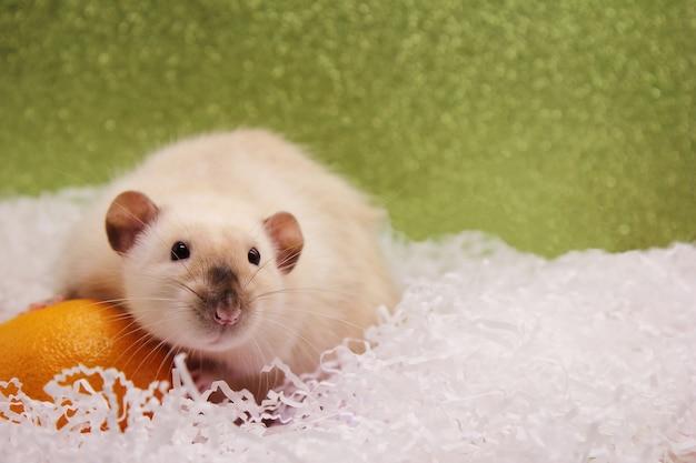 Szczur I Mandarynka. Szczur Jest Symbolem Nowego Roku 2020. Premium Zdjęcia