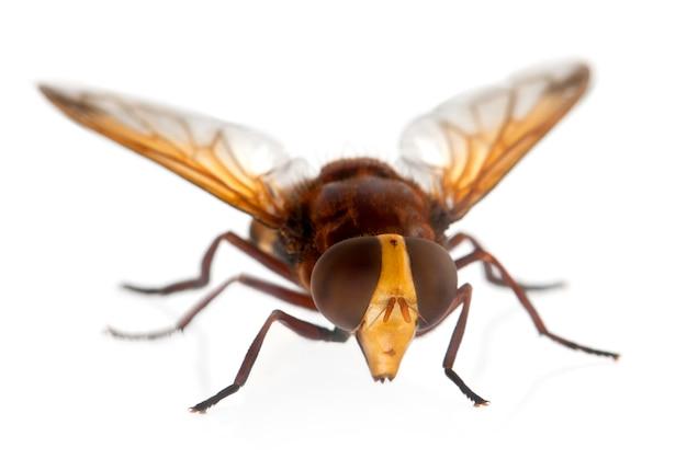 Szerszeń Naśladuje Hoverfly, Volucella Zonaria Na Bielu Odizolowywającym Premium Zdjęcia