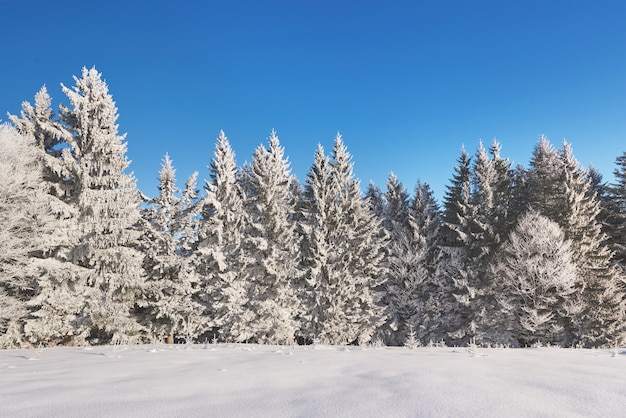 Tajemniczy Zimowy Krajobraz Majestatyczne Góry Zimą. Magiczne Drzewo Pokryte śniegiem Zimy. Karpacki. Ukraina Darmowe Zdjęcia