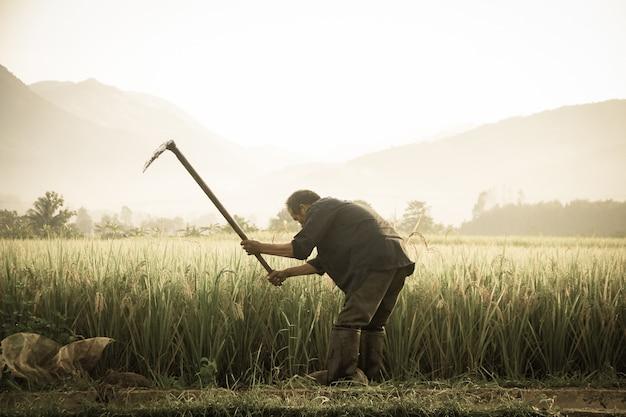Tajlandzcy Rolnicy Niesie Piki Przy Polem. Premium Zdjęcia