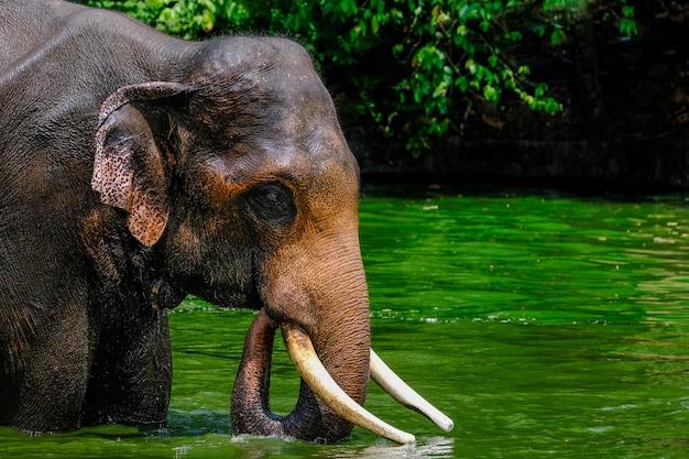 Tajlandzki, Azjatycki Słoń Bawić Się W Wodzie Premium Zdjęcia