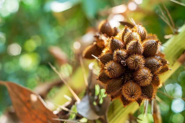 Tajlandzki Lychee Od Drzewa Na Zamazanej Bokeh Naturze Premium Zdjęcia