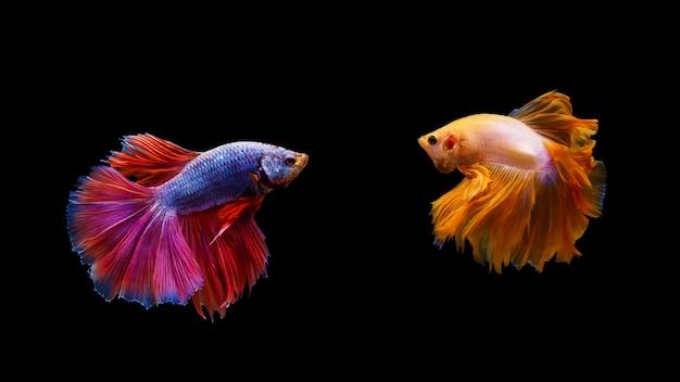 Tajska Walcząca Ryba Betta Premium Zdjęcia