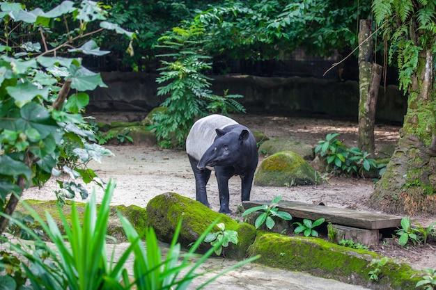 Tapir malajski w zoo Premium Zdjęcia
