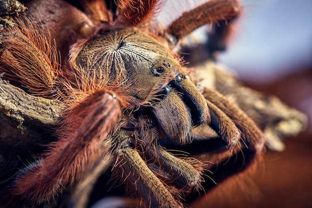 Tarantula Tapinauchenius Gigas Darmowe Zdjęcia