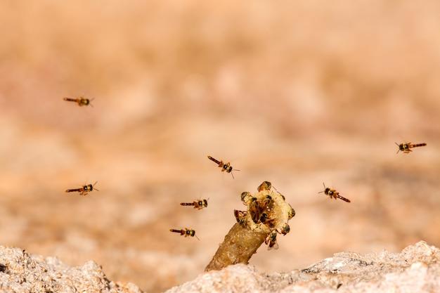 Tetragonisca Angustula Colony - Honeybees Jatai - W Locie Premium Zdjęcia