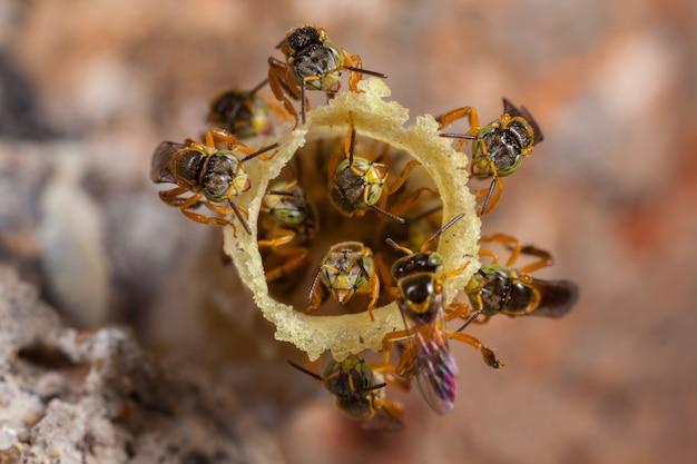 Tetragonisca Angustula Colony - Honeybees Jatai Premium Zdjęcia