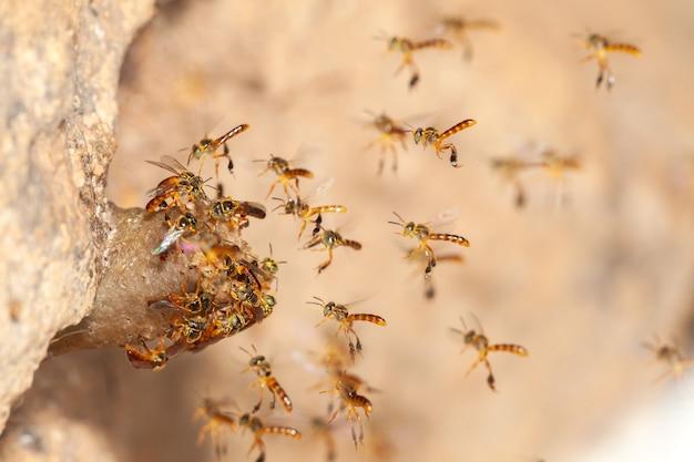 Tetragonisca Angustula Jatai Bess W Locie Blisko - Pszczoła Bez żądła Premium Zdjęcia