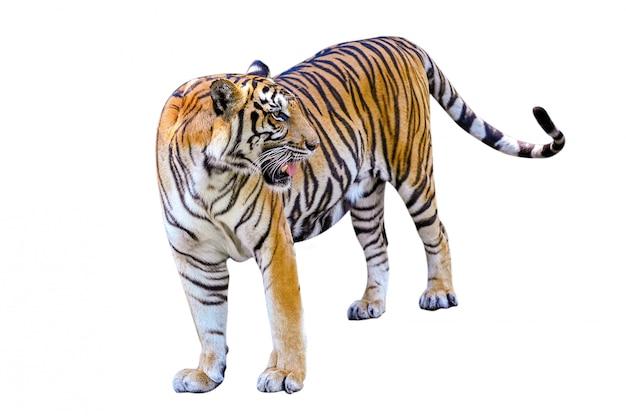 Tiger Izoluje Całe Ciało Premium Zdjęcia