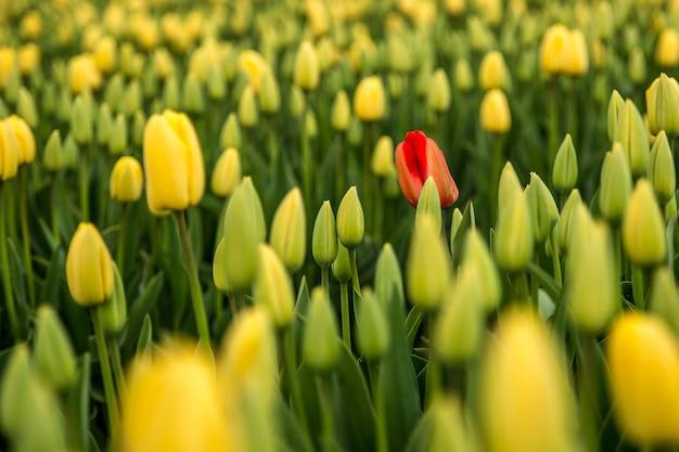 Tło Czerwony Tulipan W żółtym Polu Tulipanów Darmowe Zdjęcia