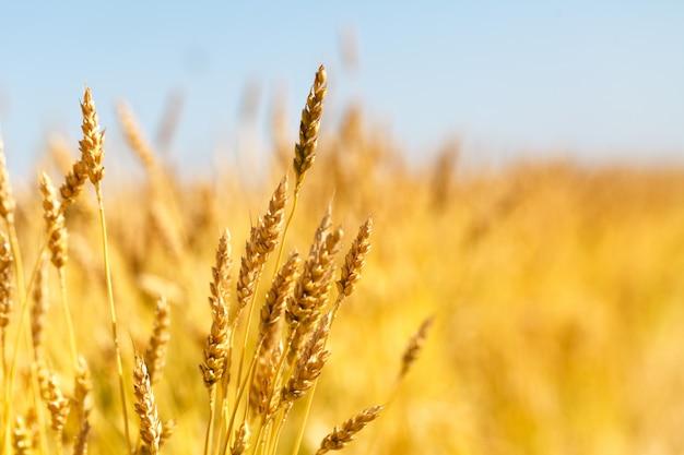 Tło Dojrzewanie Uszy żółte Pole Pszenicy Na Tle Zachmurzonego Nieba Pomarańczowy. Premium Zdjęcia