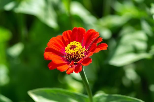 Tło Kwiat, Piękny I Jasny Cynia Peruviana Kwiat Premium Zdjęcia