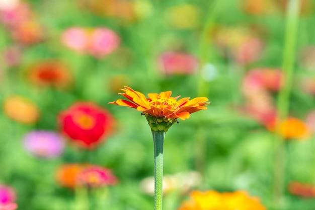 Tło Kwiat, Wiele Pięknych I Jasnych Kolorów Zinnia Peruviana Premium Zdjęcia
