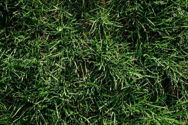 Tło Tekstura Tłustoszowata Zielona Trawa Premium Zdjęcia