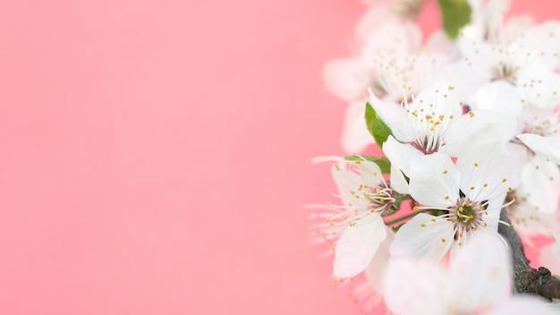 Tło Wiosna. Drzewa Wiśniowe Premium Zdjęcia