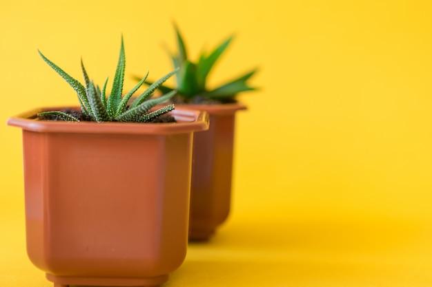 Tłustoszowata domowa roślina kiełkuje na żółtym tle Premium Zdjęcia