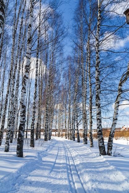 Trasa narciarska w zimowym lesie brzozowym trasy narciarstwa biegowego Premium Zdjęcia