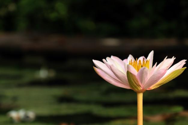 Tropikalny różowy kwiat lotosu Premium Zdjęcia