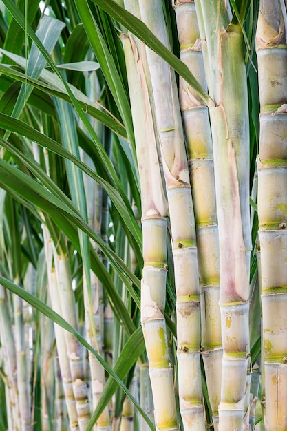 Trzcina cukrowa w ogrodzie do spożycia. Premium Zdjęcia