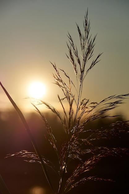 Trzcina o zachodzie słońca Premium Zdjęcia