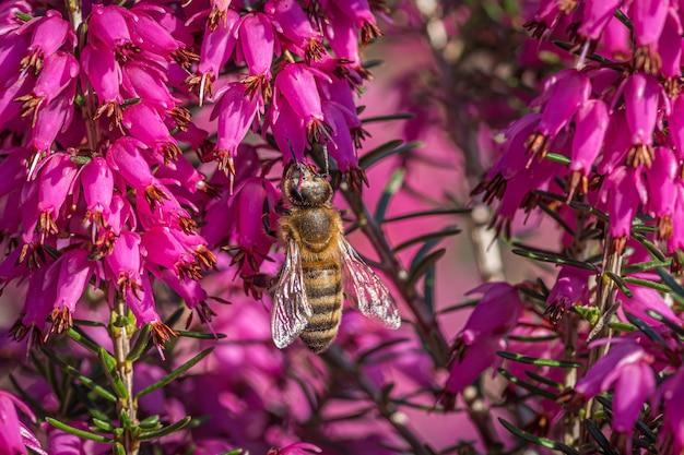 Trzmiel Zbierający Nektar Na Pięknych Fioletowych Kwiatach Z Rodziny żylaków I Granatów Darmowe Zdjęcia