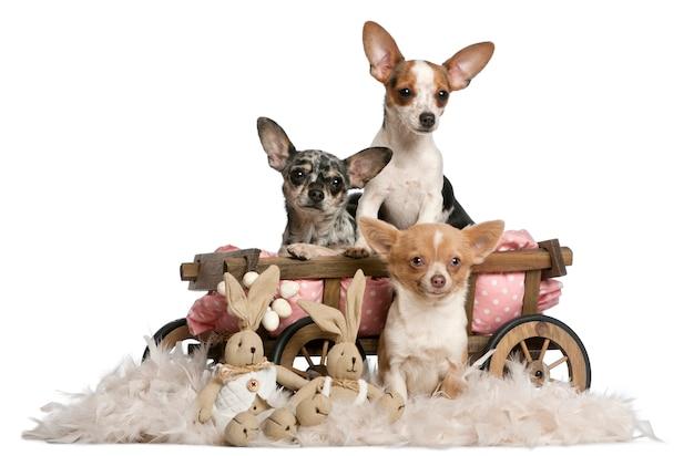 Trzy Chihuahua Z Wagonikiem Dla Psa I Wielkanocnymi Pluszakami Premium Zdjęcia