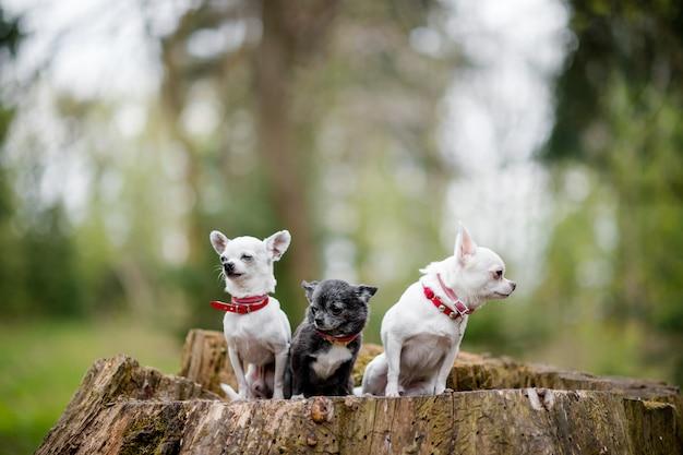 Trzy Małego śmiesznego Chihuahua Szczeniaka Siedzi Na Drzewie W Lato Lesie Premium Zdjęcia