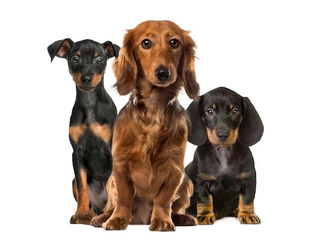 Trzy Psy Siedzące Na Białym Tle Premium Zdjęcia