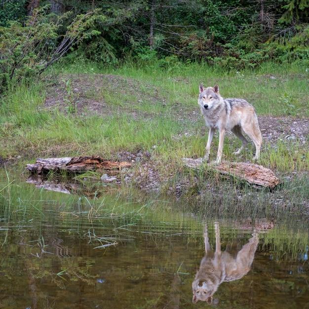 Tundra Wolf Reflected In A Pond Premium Zdjęcia