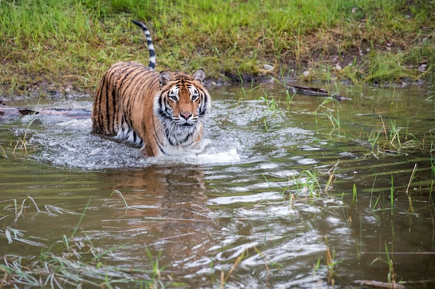 Tygrys Brodzący W Wodzie Z Falami I Refleksją Premium Zdjęcia