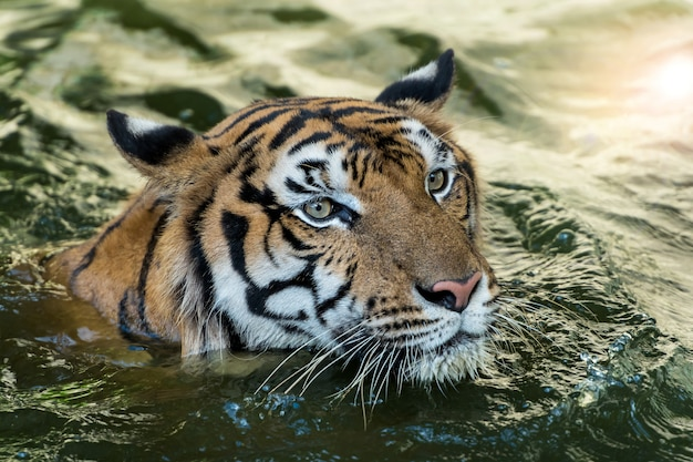Tygrys W Dżungli Premium Zdjęcia