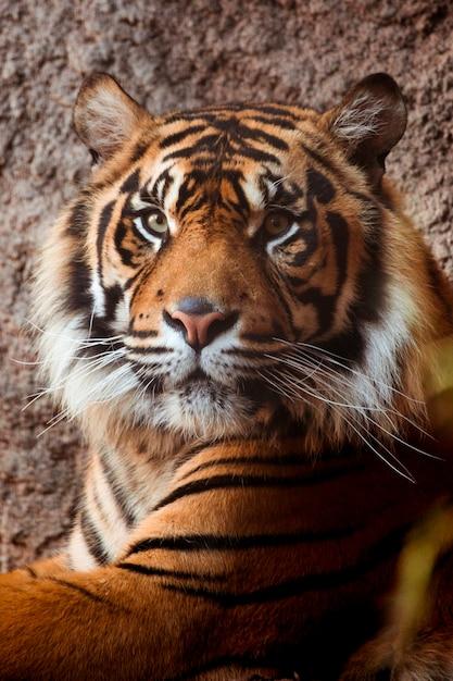 Tygrys Darmowe Zdjęcia