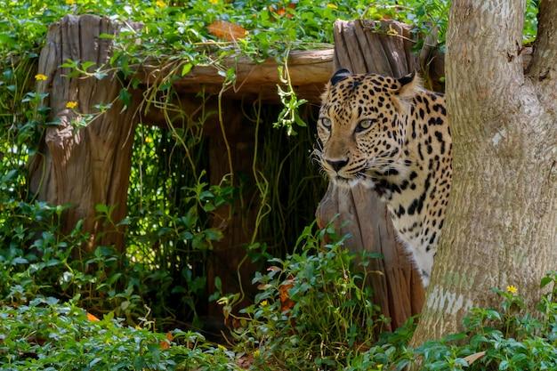 Tygrysie Jaguar. Premium Zdjęcia