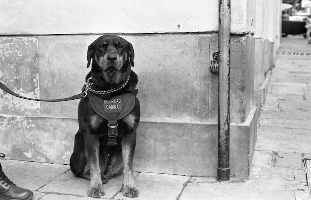 Ujęcie W Skali Szarości Czarnego Psa Na Smyczy Siedzącego Na Chodniku Darmowe Zdjęcia
