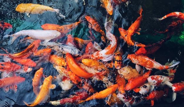 Ujęcie Z Góry Kolorowych Ryb Koi Zebranych Razem W Wodzie Darmowe Zdjęcia